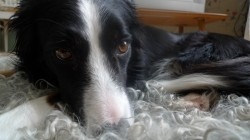 Fredriks border collie Liss