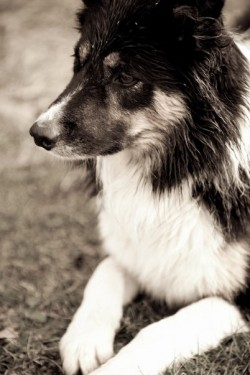 Fredriks border collie Bill