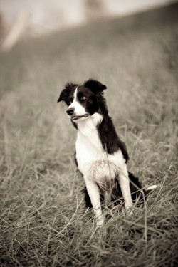 Pierres border collie Goofy